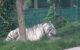 Visit Herts - Paradise Wildlife Park White Tiger
